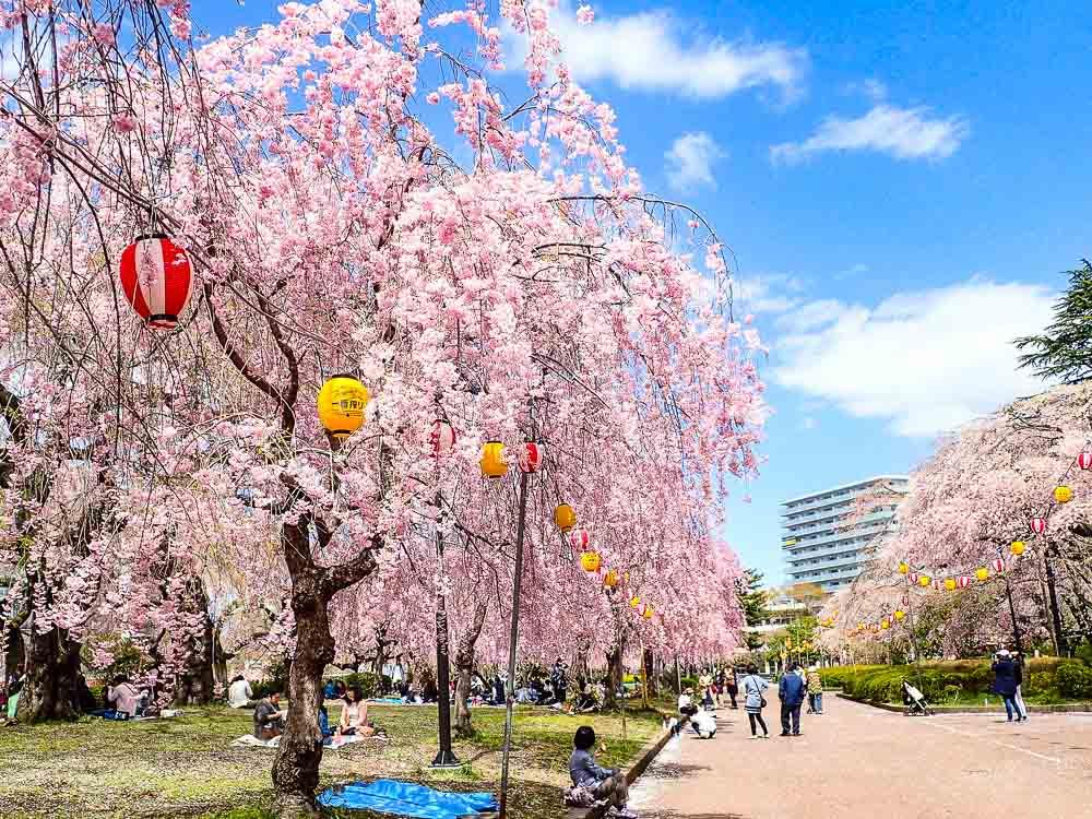 日本東北賞櫻|仙台市區榴岡公園,漫天飛舞櫻吹雪